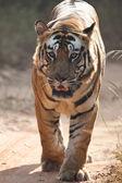 ベンガルの虎 — ストック写真