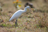Cattle egret with grasshopper — Stock Photo