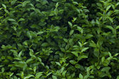 Shrub leaves — Stock Photo