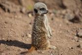 Baby meerkat — Stockfoto