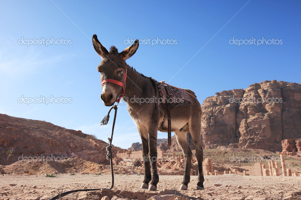 A high resolution of a Donkey in Petra, Jordan — Stock Photo #11829333