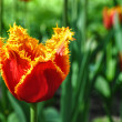 Red Sunny Tulip — Stock Photo #11667387