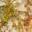 Old stone wall covered green plant — Stock Photo