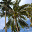 Coconut Tree — Stock Photo #11606998