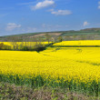 Royalty-Free Stock Photo: Rapeseed field