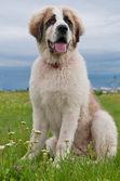 Portrait of Bucovina shepherd dog sitting — Stock Photo