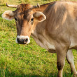 Stockfoto: Brown cow gazing to camera