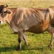Stockfoto: Brown cow gazing on fresh pasture