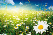 Summer with daisies — Stock Photo