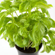 Basil plant - Stock Photo