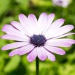 Marguerite, flower — Stock Photo