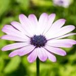 Marguerite, flower — Stock Photo
