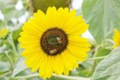 Bees on a sunflower plant — Stock Photo