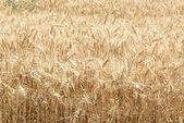 Grano de trigo — Foto de Stock