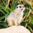 Suricato, suricata, suricatta — Stock Photo
