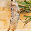 Suricato, suricata, suricatta - Stock Photo