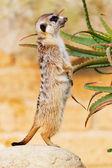 Suricato, suricata, suricatta — Stock Photo