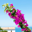Flowering bouganville — Stock Photo