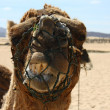 Camel on teneriffa — Stock Photo #11767057