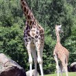 Giraffe, camelopardalis — Stock Photo