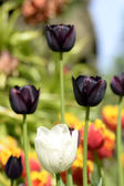 Tulips black and white — Stock Photo
