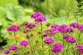 色彩鲜艳的粉红色花 — 图库照片