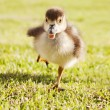 Stock Photo: Duckling on run