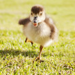 Duckling on the run — Stock Photo
