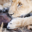 Attentive lion cub playing with rock — Stock Photo