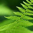 Fern macro — Stock Photo #11660770