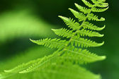 Fern macro — Stock Photo