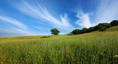 Green summer field and lone tree — Stock Photo