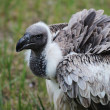 Vulture — Stock Photo #11667606