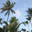 Palm trees in the Caribbean — Foto Stock