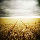 Wheat field on a stormy day — Stock Photo