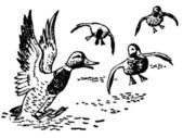 Ducks landing in pond — Stock Photo