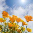 Stock Photo: Poppies under blue sky with sun