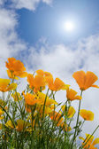 Poppies under blue sky with sun — Stock Photo