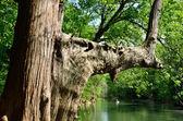 Ciprés grande a orillas del río — Foto de Stock