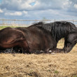 Black horse lying on the straw — Stock Photo