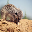 Stock Photo: Meerkat digging sand