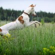 Ibizan Hound dog fun - Stock Photo