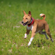 Basenjis dog — Stock Photo #11854051