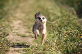 Meerkats run — Stock Photo