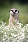 Meerkat look at you — Stock Photo