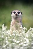 Meerkat look at you — Stock Photo