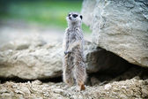 Meerkat stands on a rock — Stok fotoğraf