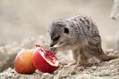 Meerkats eat a pomegranate — Stock Photo