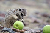 Meerkats eat green apple — Stock Photo
