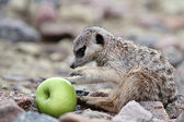 Meerkats eat green apple — Stok fotoğraf
